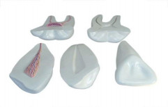 Expansion Model of Human Teeth RH-XC-305 by Rizen Healthcare