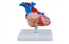 Heart Model Life Size RH-XC-307-A by Rizen Healthcare