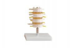 Lumbar Set Life-Size Pvc Xc-Rh-118 by Rizen Healthcare