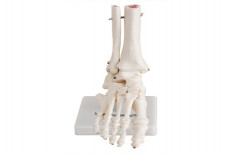 Foot Joint Life-Size PVC XC-RH-113 by Rizen Healthcare