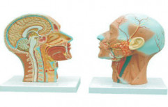 Human Half Head & Neck With Musculature by Advanced Technocracy Inc.